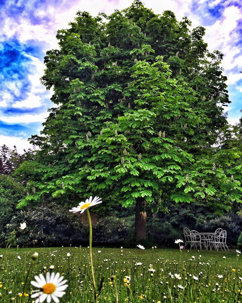 Wahre Pracht und für Bayern ein großes Stück Lebensqualität: Der sommerliche. Kastanienbaum. (© casowi)